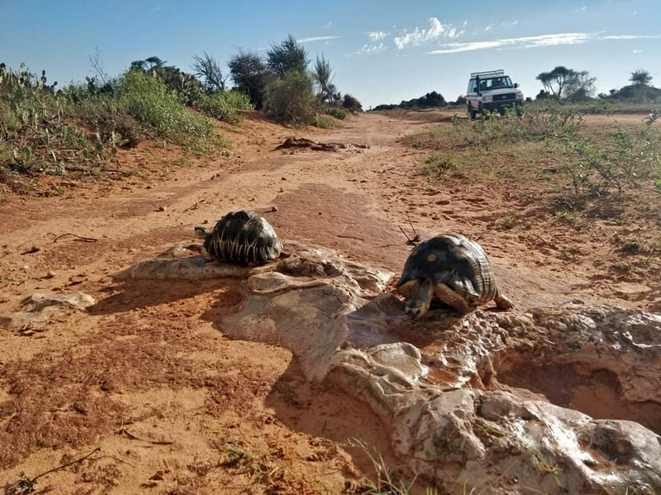 Some news about the radiata tortoise census